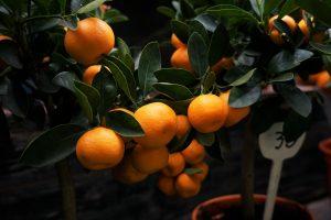 La clémentine corse, notre fruit d'hiver préféré