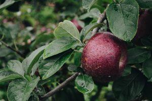 En octobre, croquez la pomme !