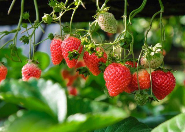 Jean-Marc Coulon, fruits rouges locaux