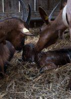 Chèvre et brebis : l'importance de la saisonnalité